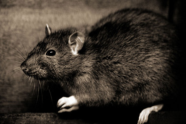 Rats are a common urba
