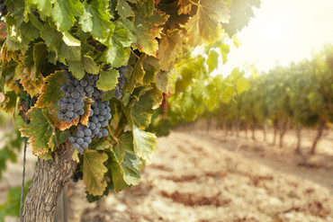 Grape growers are racing to harvest what's left of their crop (file)