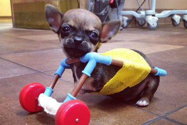 Turbo the Chihuahua (Facebook)