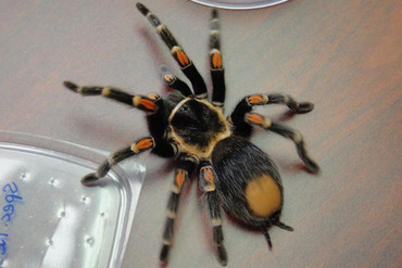 A tarantula (Reuters)